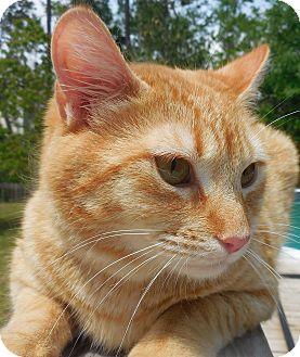 Domestic Shorthair Cat for adoption in Ocean Springs, Mississippi - Brando