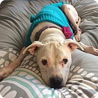 Adopt A Pet :: Iris - Newtown, CT