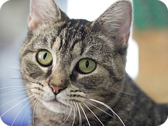 Domestic Shorthair Cat for adoption in LaGrange, Kentucky - Grace Slick