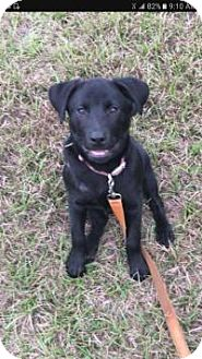Labrador Retriever Mix Puppy for adoption in Mary Esther, Florida - Chanel