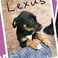 Adopt A Pet :: Lexus - Bernardston, MA