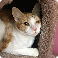 Adopt A Pet :: Cream Puff - Wayne, NJ