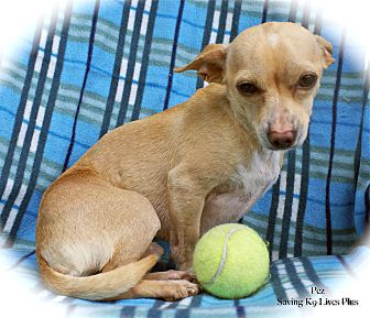 Chihuahua Mix Puppy for adoption in Encino, California - Pez