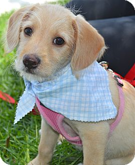 Terrier (Unknown Type, Small) Mix Puppy for adoption in Los Angeles, California - Delila