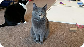 Domestic Shorthair Cat for adoption in Maryville, Tennessee - Shiloh