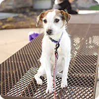 Adopt A Pet :: Shelby-Adopted! - Detroit, MI