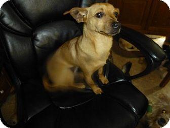 Dachshund/Chihuahua Mix Dog for adoption in Glastonbury, Connecticut - Lina