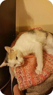 Domestic Shorthair Cat for adoption in Flower Mound, Texas - Cherish