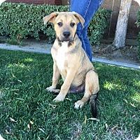 Mastiff/Shepherd (Unknown Type) Mix Puppy for adoption in Bakersfield, California - Barney