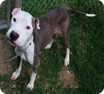 Staffordshire Bull Terrier Mix Dog for adoption in Fort Collins, Colorado - Becky Sue