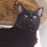 Domestic Shorthair Cat for adoption in St. Louis, Missouri - Cadfael