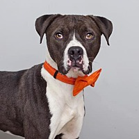 American Staffordshire Terrier Mix Dog for adoption in Mission Hills, California - Theo