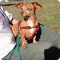 Adopt A Pet :: Gemma - Marble Falls, TX