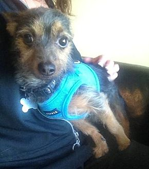 Yorkie, Yorkshire Terrier/Terrier (Unknown Type, Small) Mix Dog for adoption in Freeport, New York - Fritz