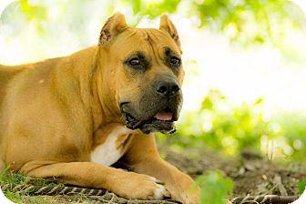 Presa Canario Dog for adoption in Virginia Beach, Virginia - Jade