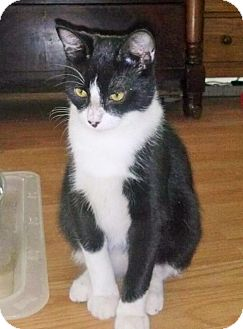 Domestic Shorthair Kitten for adoption in Fort Worth, Texas - Domino