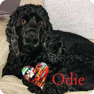 Cocker Spaniel/Cocker Spaniel Mix Dog for adoption in Ottawa, Ontario - Odie