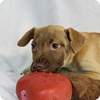 Dutch Shepherd/Labrador Retriever Mix Puppy for adoption in Pompton Lakes, New Jersey - Doris Pups