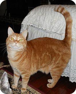 Domestic Shorthair Cat for adoption in Reston, Virginia - Charlie