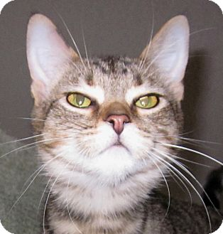 Domestic Shorthair Kitten for adoption in Winchester, California - Tootsie