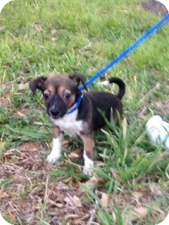 Chihuahua Mix Puppy for adoption in Houston, Texas - Mandy