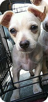 Dachshund/Chihuahua Mix Puppy for adoption in Encino, California - October