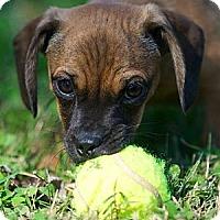 Adopt A Pet :: Cookie - Providence, RI