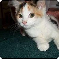 Adopt A Pet :: Kit - Acme, PA