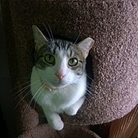 Domestic Shorthair Cat for adoption in San Antonio, Texas - McGee