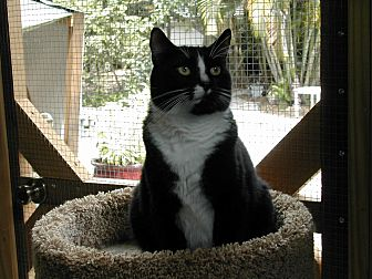 Domestic Shorthair Cat for adoption in Naples, Florida - Shorty