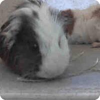 Adopt A Pet :: *Urgent* Pacha - Fullerton, CA