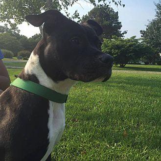 American Staffordshire Terrier Mix Dog for adoption in Golsboro, North Carolina - PRINCESS LEIA