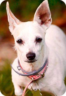 Chihuahua Mix Dog for adoption in Hockessin, Delaware - Precious