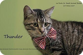 Domestic Shorthair Cat for adoption in La Porte, Indiana - Thunder