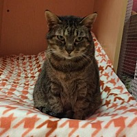 Domestic Shorthair Cat for adoption in Monroe, Louisiana - Jasmine