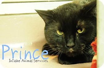 Domestic Shorthair Cat for adoption in Hamilton, Ontario - Prince