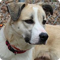 Labrador Retriever/Collie Mix Dog for adoption in Allentown, Pennsylvania - Luka