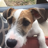 Adopt A Pet :: Gus in Dallas/Weatherford - Dallas/Ft. Worth, TX