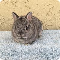 Adopt A Pet :: Baby grey dwarf 1 - Bonita, CA
