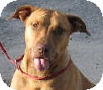 Staffordshire Bull Terrier/American Bulldog Mix Dog for adoption in Orange Lake, Florida - Ruby