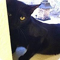 Adopt A Pet :: Noire - Phoenix, AZ