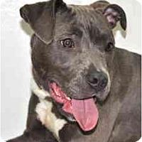 Adopt A Pet :: Blu - Port Washington, NY
