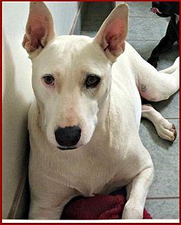 Bull Terrier Mix Dog for adoption in Queen Creek, Arizona - Bella