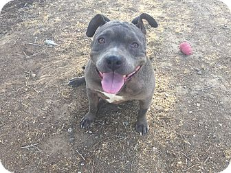Pit Bull Terrier Mix Dog for adoption in West Hills, California - Joy