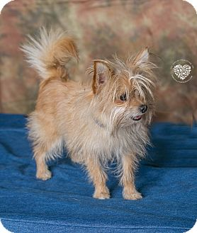 Terrier (Unknown Type, Small)/Fox Terrier (Wirehaired) Mix Dog for adoption in Inglewood, California - Mr. Bean