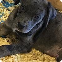 Adopt A Pet :: Robyn boy pup - Pompton Lakes, NJ
