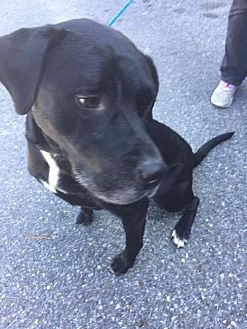 Labrador Retriever Mix Dog for adoption in Sayville, New York - Shadow