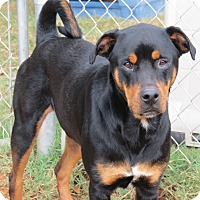 Rottweiler Mix Dog for adoption in Marble Falls, Texas - Sheba