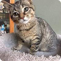 Adopt A Pet :: Drakko(sweetie) - Sterling Hgts, MI