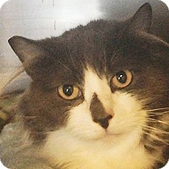 Domestic Longhair Cat for adoption in Port Angeles, Washington - Slivee